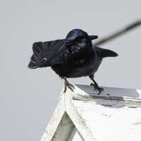 Purple Martin standing on Birdhouse