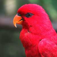 Red and Pink Parrot