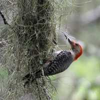 Red Bellied woodpecker on tree
