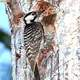 Red Cockaded Woodpecker - Leuconotopicus borealis on a tree