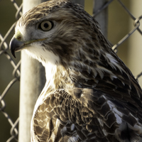 Red tailed hawk by tennis fence