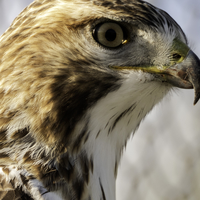 Red-tailed hawk headshot close-up