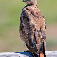 Red-Tailed Hawk, Near Christmas Valley, Oregon - Buteo jamaicensis