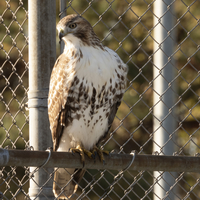 Red-tailed hawk perched on steel bar