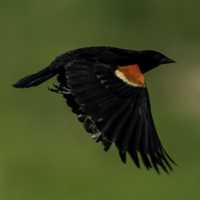 Red Winged Blackbird flapping its wings in flight