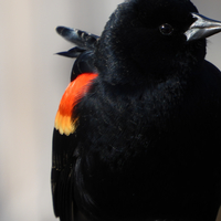 Red-wing blackbird closeup