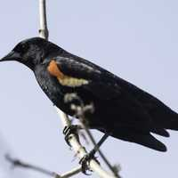 Red-Winged Blackbird perched on a branch waiting