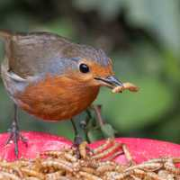 Robin Eating Mealworms