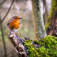 Robin standing on a branch stump