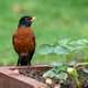 Robin standing on the garden