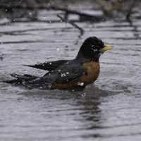 Robin taking a bath in a puddle