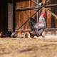 Rooster in front of the barn