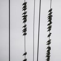 Rows of small birds sitting on telephone wires
