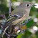 Ruby-crowned Kinglet -- Regulus calendula