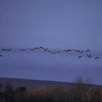 School of geese flying in the air