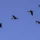 School of Geese flying in V Formation