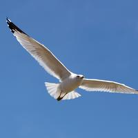 Seagull gliding in the air