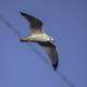 Seagull in flight with wings spread