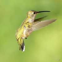 Small Hummingbird flapping its wings