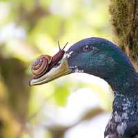 Snail on the beak of a duck