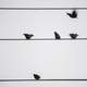 Some birds taking off from a wire