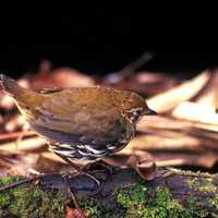 Striated Antthrush -- Chamaeza nobilis