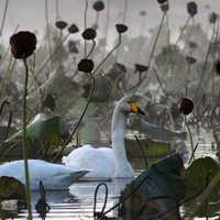 Swans in the middle of Water Plants