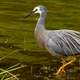 The white-faced heron - Egretta novaehollandiae