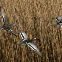 Three Ducks flying in the reeds