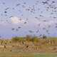 Tons of Waterfowl in the sky in Montana