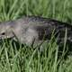 Townsend's Solitaire in the grass
