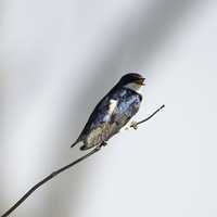 Tree Swallow standing on branch -- Tachycineta bicolor