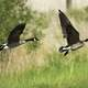 Two Canadian Geese Taking Off