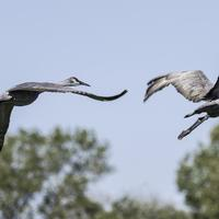 Two Cranes taking flight