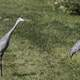 Two Cranes walking on the Trail