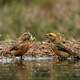 Two Crossbills in a puddle of water