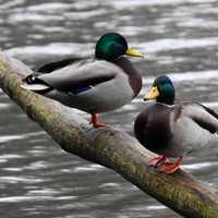 Two ducks standing on a log in the pond