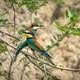 Two European Bee-Eaters standing on a branch - Merops apiaster