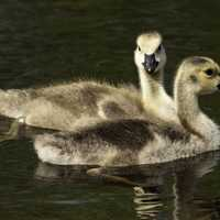 Two Goslings swimming in the water