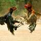 Two Roosters fighting