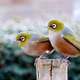 Two Waxeyes standing on a wood pole