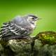 Wagtail perched on mossy rock