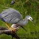 White Faced Heron on a fallen tree