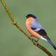 Wild Bullfinch on stem