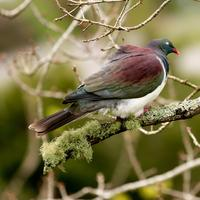 Wood Pigeon on Branch