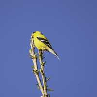 Yellow Finch on branch
