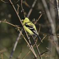 Yellow Finch on Tree branch