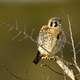 Young American kestrel on a branch - Falco sparverius