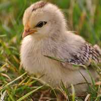Young Chick Cute