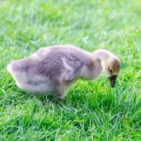 Young duck feeding with grass